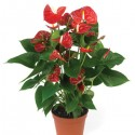 Anthurium Plant (indoors)